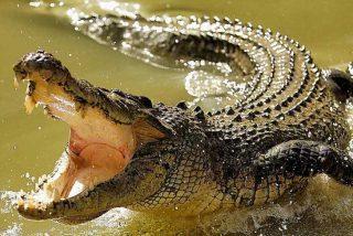 La gran anaconda cruza parsimoniosa el río, sin saber que va a servir de merienda al caimán