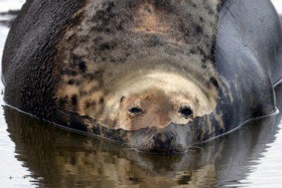 Esta foca ayuda a detener a unos traficantes que escondían una tonelada de droga