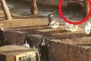 Este toro se fuga de la plaza en Valencia, hiere a una mujer y la Policía lo mata a balazos