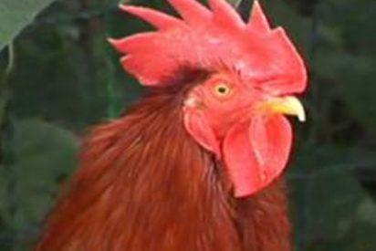 Un juez francés autoriza los cantos de Maurice, un gallo símbolo del mundo rural
