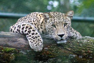 El tipo acaricia al leopardo y el felino, en lugar de soltarle un bocado, ronronea de gusto
