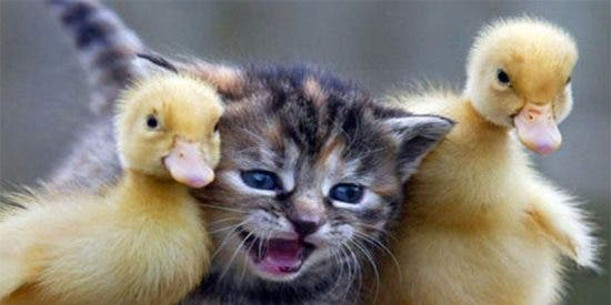 Los patitos agreden 'sexualmente' al pobre gato