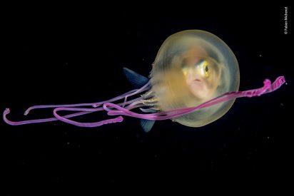 Aventuras gastronómicas: medusas