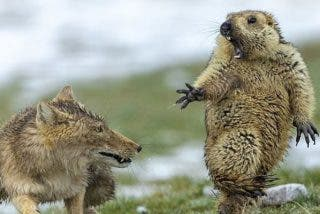 ¡No me toques!: Esta marmota sorprendida por un zorro, mejor foto de fauna salvaje 2019
