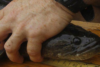 ¿Sabes por qué salieron del agua los peces carnívoros capaces de sobrevivir en tierra que 'invadieron' EE.UU.?