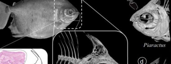 ¿Sabías que las pirañas cambian de dientes en bloques enteros, incluso las que son herbívoras?
