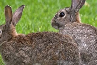 Por primera vez, el conejo es incluido en la lista de especies en peligro de extinción