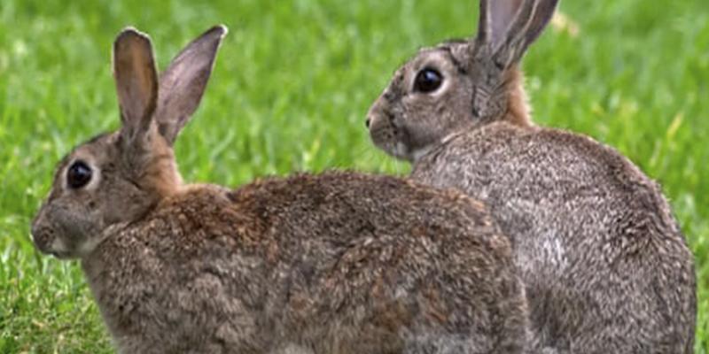 ¿Sabías que los conejos pueden ser la clave para resolver el misterio del orgasmo femenino humano?