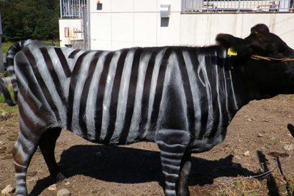 ¿Sabías que pintar vacas como cebras tiene un beneficio sorprendente?