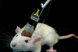 ¿Un paso a la inmortalidad?: Logran mantener vivos durante semanas unos cerebros extraídos de ratones