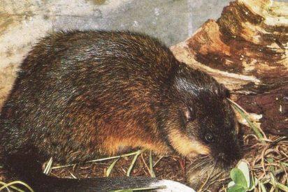 """¿Sabías que las ratas de agua australianas han aprendido a cortar con precisión """"quirúrgica"""" para alimentarse de sapos venenosos ?"""