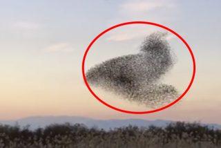 Así es el efecto hipnótico de un halcón en una bandada de estorninos