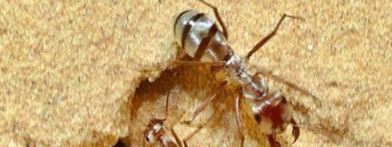 Así es la hormiga más rápida del mundo que vive en el norte del Sahara