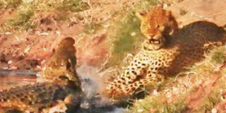 La feroz lucha de un leopardo y un cocodrilo por una presa