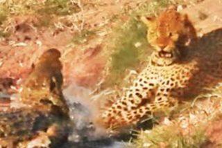El leopardo tiene hambre y se faja con el feroz cocodrilo para quitarle la comida