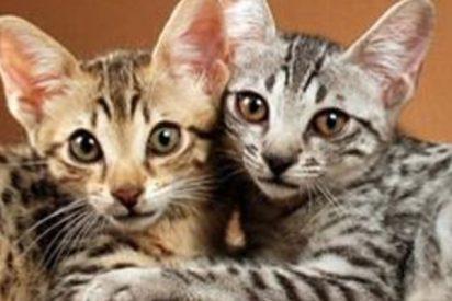 Así son los gatos híbridos; la última moda de cruzar animales que le ha costado 30.000 dólares a Justin Bieber
