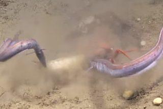 'Lucha de titanes': Este cangrejo lucha por su comida en una feroz batalla contra dos anguilas
