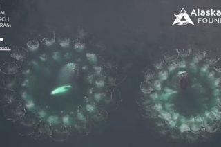 Captan el espectacular método que tienen las ballenas para cazar peces mediante redes de burbujas