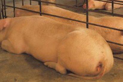 "China está criando cerdos gigantes del tamaño de ""osos polares"" ante la escasez de carne por la peste porcina"