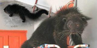 Descubren a este extraño animal que parece a la vez un gato y un oso y lo atrapan tentándolo con plátanos