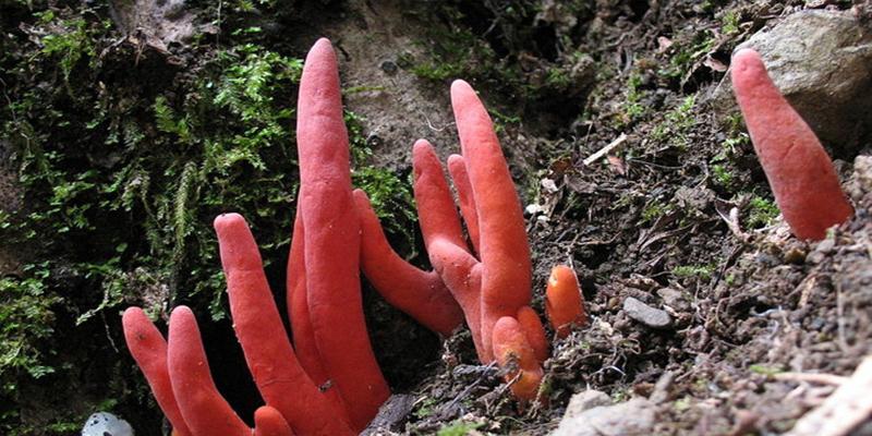 Descubren en Australia este hongo altamente tóxico capaz de reducir el cerebro humano