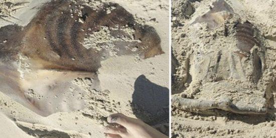 Descubren este extraño animal en una playa australiana y piden ayuda para identificarlo