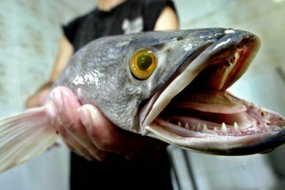 """""""Si lo encuentras, mátalo y congélalo"""": alerta mundial por el voraz pez cabeza de serpiente, que viene de China y respira fuera del agua"""