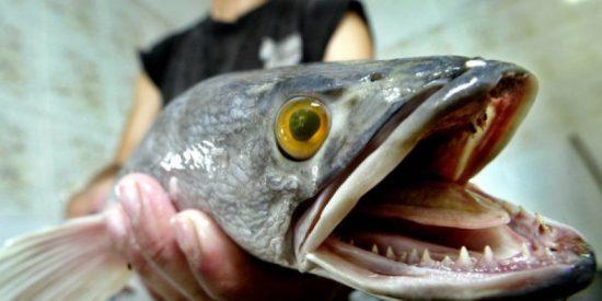 'Cabeza de Serpiente': el terrorífico pez que respira fuera del agua y amenaza nuestro ecosistema