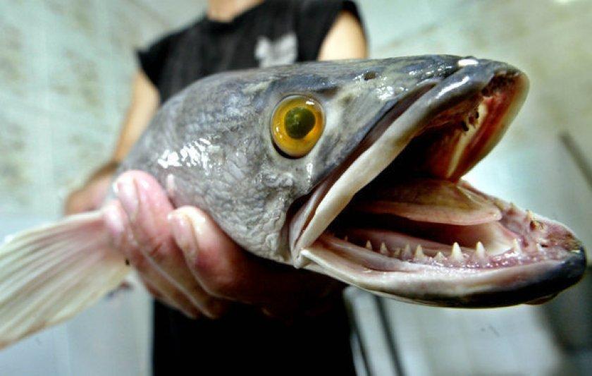 La fuga perfecta del pez: escapa de un balde y salta diez metros hasta llegar a la alcantarilla