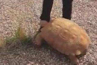 Encuentran a esta tortuga de más de 25 kilos en una rotonda de Ciudad Real