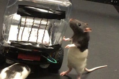 Enseñan a conducir coches a escala a estas ratas con fines científicos