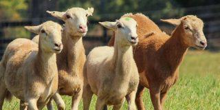 Esquilan a 3.500 ovejas por el calor en Argentina, bajan las temperaturas y acaban muertas por hipotermia
