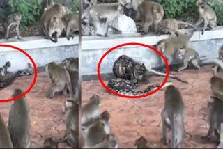 Esta enorme pitón se merienda a un mono frente a su manada