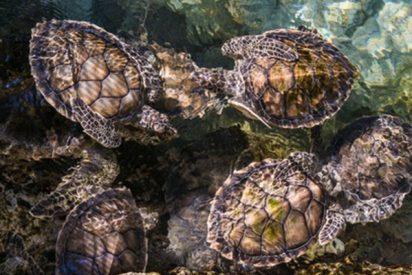 Esta especie de tortugas podría quedarse sin machos a causa del calentamiento global
