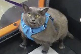 Esta gata gorda 'como una vaca' y muy perezosa simula hacer ejercicio en la cinta moviendo una sola pata