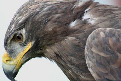 Este águila siberiana vuela a Irán y arruina a los ornitólogos 'enviando' costosos SMS
