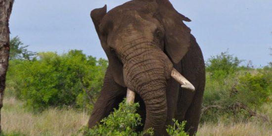 Este elefante ataca un tractor que se estrelló contra él en la India