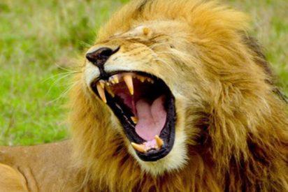 """Este enorme león aterroriza a un fotógrafo con un rugido fuerte y luego """"se ríe"""" de él"""