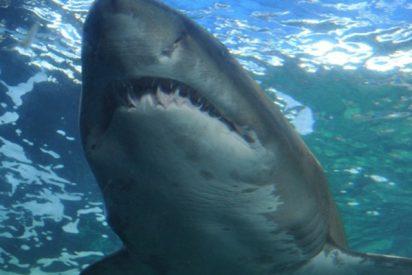 Este gran tiburón blanco ataca un kayak, dejando un par de dientes clavados en la embarcación