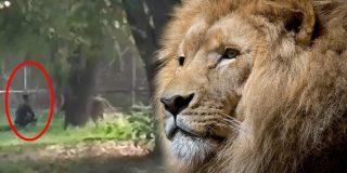 Este tipo se ofrece como 'merienda' al león durante un minuto y el feroz felino pasa de él