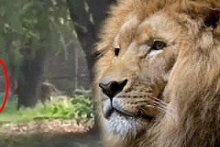 Este hombre se pone delante de un león durante un minuto y el animal pasa de él