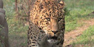 Este leopardo se acerca sigilosamente al perro que duerme delante de su casa, lo trinca y casi se lo merienda