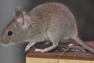 Este minúsculo ratón causa el caos en la Casa Blanca al caer sobre un periodista