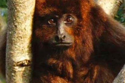 Este mono argentino entre los 25 primates más amenazados del mundo