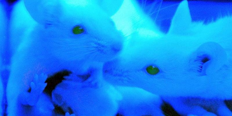 Este nuevo estudio en ratones da las claves para prolongar la longevidad