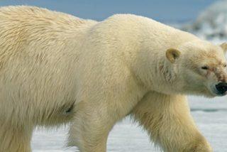 Este oso polar hambriento obliga a unos exploradores a resguardarse en un avión