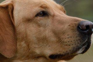 'Donde pone el ojo pone la pata': Este perro pisa un arma y accidentalmente dispara a una mujer en EE.UU.