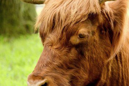 Este toro cabreado irrumpe en un partido de fútbol y embiste a los espectadores