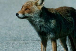 Este zorro se mete en la pista de aterrizaje instantes antes del despegue y el Boeing roza la tragedia