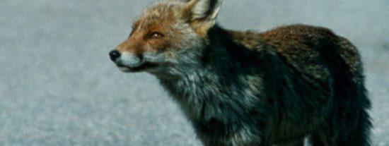 Este zorro se mete en la pista de aterrizaje momentos antes del despegue de un Boeing